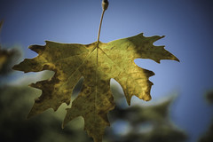 leaf.. (ckollias) Tags: parnitha autumn closeup day hole leaf maple mapleleaf nature nopeople oaktree outdoors