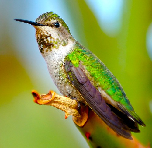 Hummingbird Portrait 3