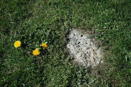 Dandelion and Concrete
