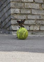 tiny dog - by Joe Dunckley