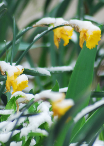 Daffodils in Snow #1