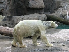 Polar bear with a skin condition