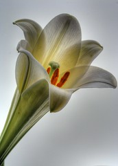 Easter Lily on Cloudy Sky (JoelDeluxe) Tags: newmexico easter lily neat joeldeluxe hdr superbmasterpiece