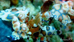 Harlequin Shrimp at Richelieu Rock, Thailand