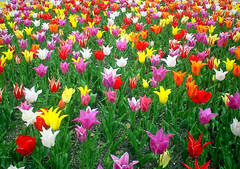 tulip parades (Marie Eve K.A. (Away)) Tags: travel red plants white flower color colour yellow japan spring fantastic mix rainbow flora kyoto colorful purple tulip  botanic   japon sonycybershot flowercarpet springgarden   naturesfinest favoritegarden flickrphotoaward