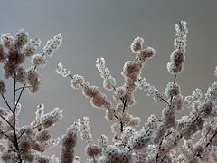 20070402_2696944_2 (nivK woods) Tags: flowers cherryblossom sakura backlighting