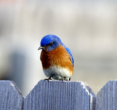 Male Eastern BlueBird - by dbarronoss