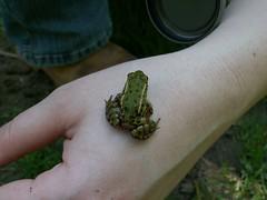 Green frog (Mandy Verburg) Tags: holland green nature netherlands animal groen nederland natuur frog dordrecht dier kikker dordt amfibie dord amfibien mandyarjan