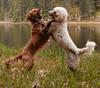 The Mad Dance (Russ Beinder) Tags: friends dog topv111 goldenretriever spring fight topv555 topv333 topv1111 topc50 topv999 topv777 marsh goldendoodle gvrd minnekhadapark impressedbeauty pet100 2007041500042