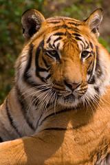 Bengal Tiger portrait (yadavop) Tags: nature animals nikon bokeh tiger bengal opsphotos d80 nikonstunninggallery 70300vr