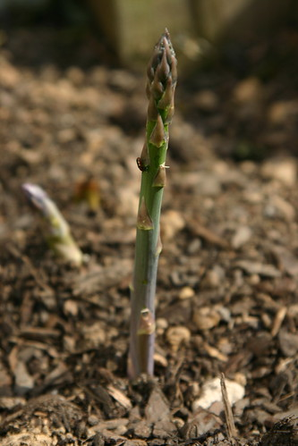 Asparagus, finally back