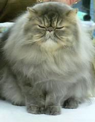 ~Cat Fancier's Show 2007~ (~Sage~) Tags: cats cat persian interestingness furry feline kitty sage explore buffalony i500 bestofcats catfanciersshow2007