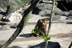 NYC - Bronx - Bronx Zoo: Grizzly Bear