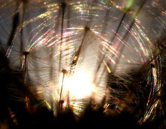 Dancing sunbeams, Join in!!! (Starlisa) Tags: light fun play seeds explore sharing dandilion naturesfinest abigfave anawesomeshot starlisa thedandyclub
