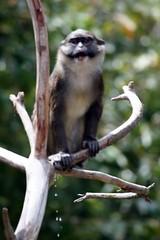 Monkey pee (FrogMiller) Tags: california ca trip travel family vacation pee animal animals fun zoo monkey sandiego evolution sd wildanimal monkeys urine sandiegozoo peeing balboapark urinating wildanimals urination allensswampmonkey ituriforest