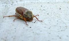 bug (skayfr) Tags: bug cricket beatle idk