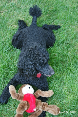 Whew....it's hot and I'm pooped! (redhatgal ~ Barbara Butler/FireCreek Photography) Tags: ca blackdog savannah bakersfield kerncounty miniaturepoodle womenphotograhers redhatgal kerncountyphotogaphers kerncountyphotograhpers redhatal