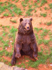 Bear (DeFerrol) Tags: bear brown beer oso wildlife os animalplanet cantabria ursus orso pardo  hartza bruine beir cabarceno   arktos brunbjrn  bozay medvd hnd niedwiedbrunatny  hartzarre bruunn chonghm