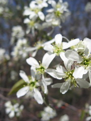 White Flowering Trees, early spring (Addieinnyc) Tags: earlyspring floweringtrees
