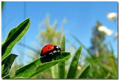 ladybug (Carplips) Tags: nature canon insect beetle ladybug naturesfinest canons2is superaplus aplusphoto superhearts