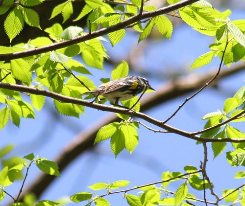 yellow-rumped warbler 02
