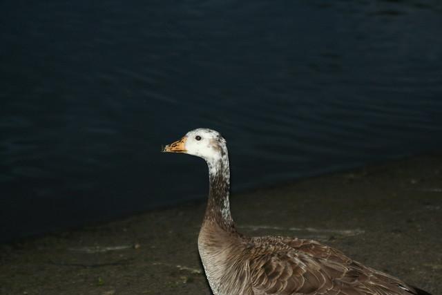 Speckled Goose