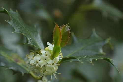Ilex aquifolium - hulst. Mannelijke bloemen