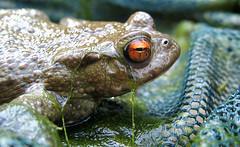 Orange eyes (biocruiser) Tags: net water pond eyes wildlife amphibian frog toad aquatic ukwildlife