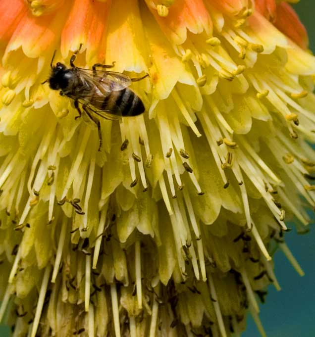 Red hot poker poisonous to dogs