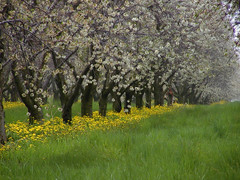 White and Gold (farlane) Tags: flower cherry spring cherries michigan farm orchard dandelion cherryblossom leelanau leelanaudotcom