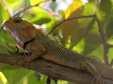 Garden Lizard Madivala Lake Anush/ Jayanth 11 May 07