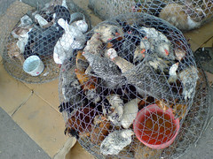 Isa Town Local Market animals (malyousif) Tags: pets animals bahrain pigeons shady crowded cruelty cages seedy uncontrolled isatownlocalmarket gargrour
