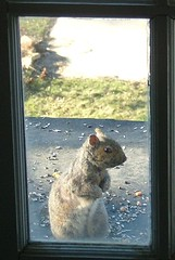 Squirrel at my window