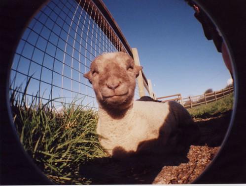 Fisheye Lamb