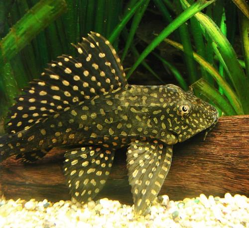 Leopard sailfin pleco (Pterygoplichthys gibbiceps) juvenile dorsal fin ...