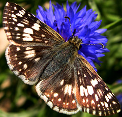 Common Checkered-Skipper Pyrgus communis (sojourner photography) Tags: butterfly texas searchthebest soe upcloseandpersonal inmygarden isnthecute commoncheckeredskipperpyrguscommunis
