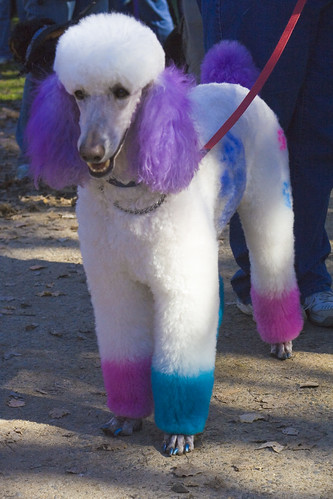 Blue Dyed Standard Poodle Million Paws Walk – ...