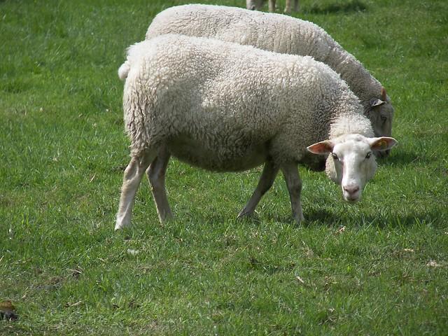 Sheep photocopy