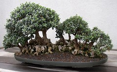 Another Bonsai I've Forgoten The Name Of (Cowtools) Tags: washingtondc spring bonsai nationalarboretum may2007