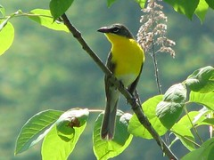 Male yellow-breasted chat