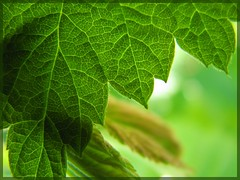 Feuillages vert. (rebelle06) Tags: macro green vert transparency cannon transparence 2007 foliages feuillages