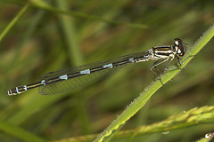 """Azure Damselfly (Coenagrion puella)(1) • <a style=""""font-size:0.8em;"""" href=""""http://www.flickr.com/photos/57024565@N00/510727264/"""" target=""""_blank"""">View on Flickr</a>"""