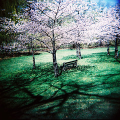 Cherry Blossoms and Shadows (.natalie) Tags: toronto holga crossprocessed highpark agfa expired rsxii