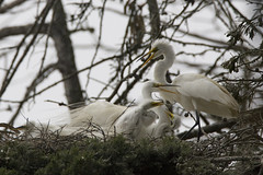 great-egret-family_E - by mikebaird