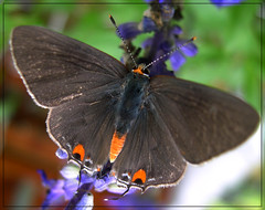 Gray Hairstreak (Strymon melinus) (sojourner photography) Tags: butterfly texas upcloseandpersonal inmygarden specnature colorphotoaward