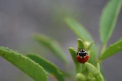 Hippodamia variegata