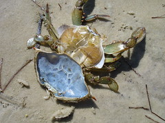 blue crab shell