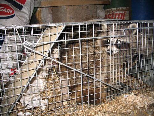 Coon in a cage