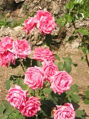 rose rosa (astrid_migliorini_cim) Tags: rose ortobotanico cim07pavia