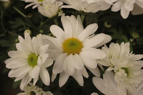 White Daisis